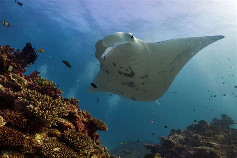 Sweet spot found for foraging manta rays - UQ News - The
