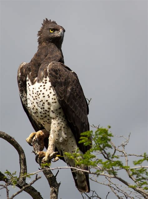 Martial Eagle Perched high - This photo was taken in