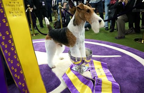 King Rules: Wire Fox Terrier Wins Best in Show at Westminster