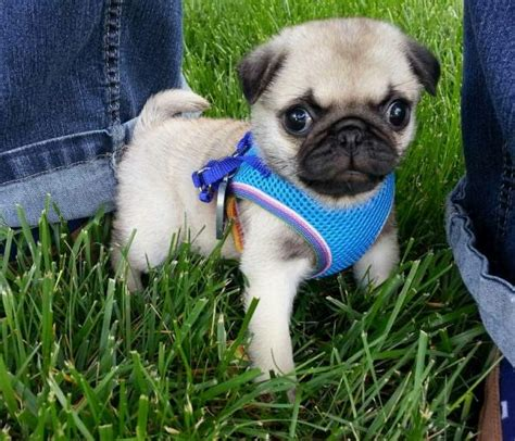 The Cutest Pug Pictures Ever Seen