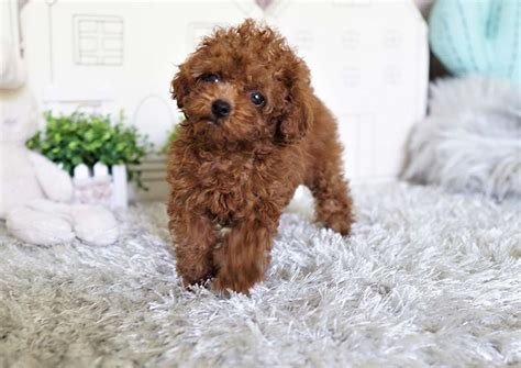 Apple the Teacup Poodle ($3,300) - Top Dog Puppies
