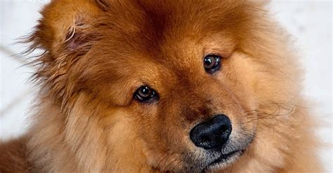 Chow Chow: le foto - GreenStyle