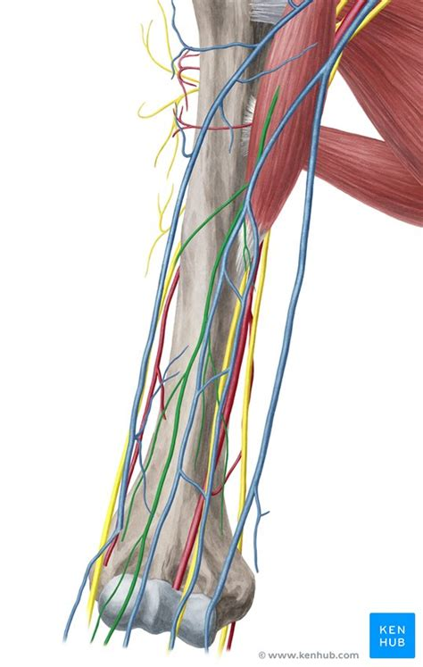 Musculocutaneous nerve: Anatomy, course and function | Kenhub