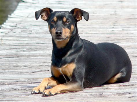 Manchester Terrier Dog Breed - Pictures, Information