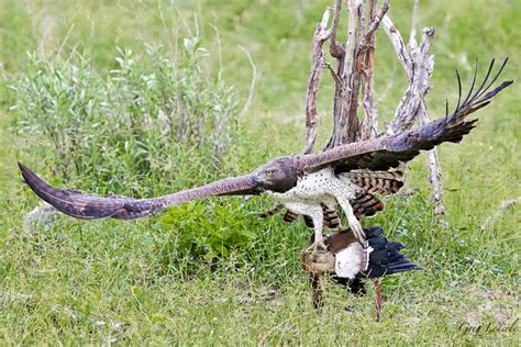 Martial eagle plucks goose from python - Africa Geographic