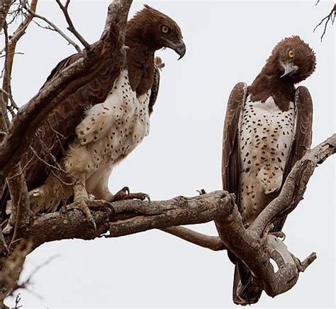 Martial Eagle - Bird to Fear in Southern Africa | Animal